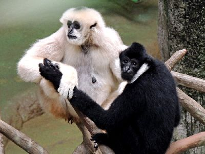 Male and female white-cheeked gibbon