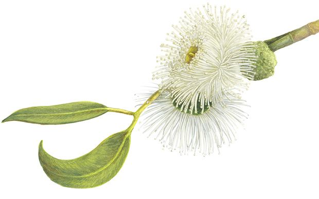 An Illustrated Guide To Australia S Gum Blossoms Australian
