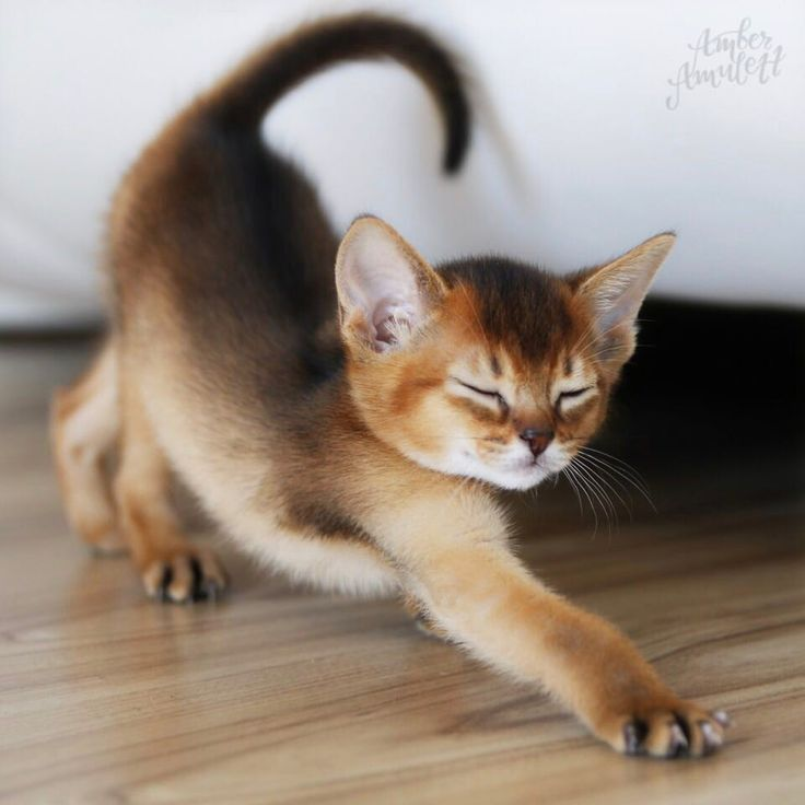 Being lazy is my duty today! • #amberamulett #abessinier #abyssinian #kitty #kitten #cat #katze #austria #igaustria #burgenland… #catbreeds