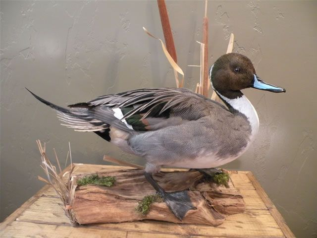 Spencer pintail mount   ideas   Pinterest   Taxidermy ...