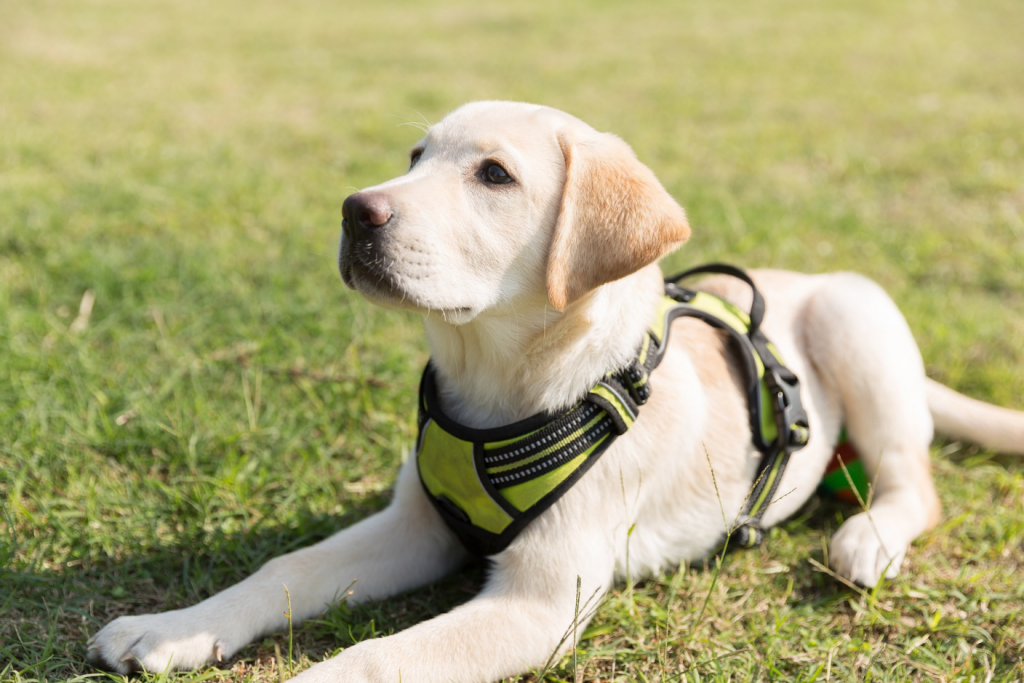 Labradors Temperament, Ways of Play and Ideal Toys