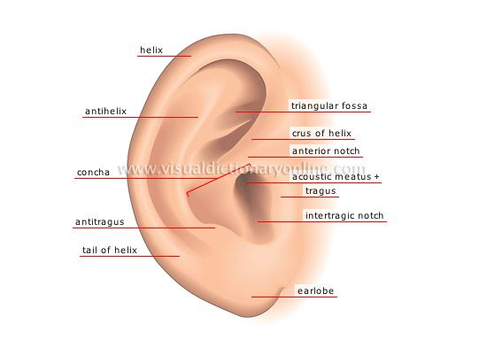 Ear Anatomy Pinna Ear Anatomy Anatomy Health Pictures
