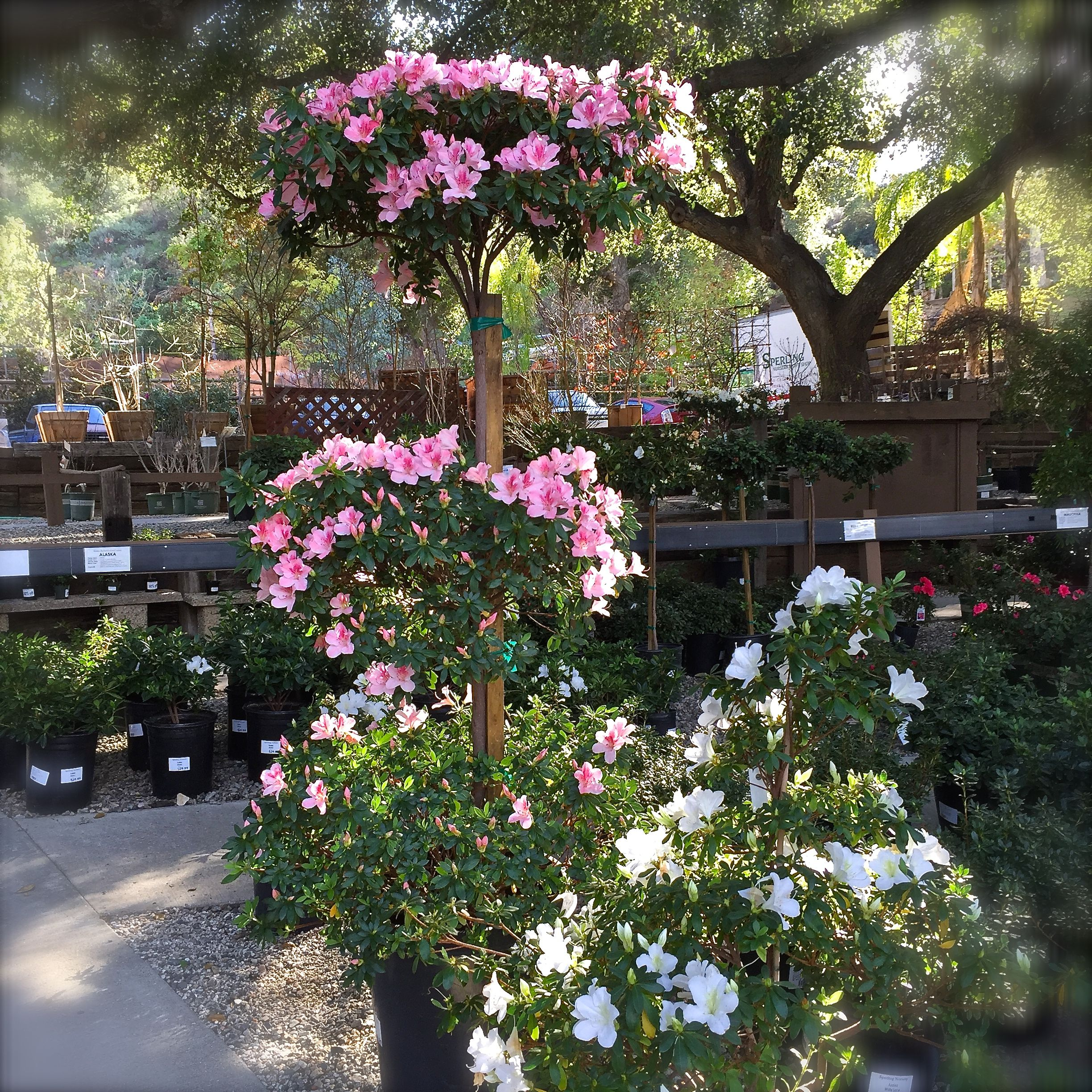 Azalea Pink Lace Tree With An Azalea White Lace Shrub Lace Trees Azaleas Plants