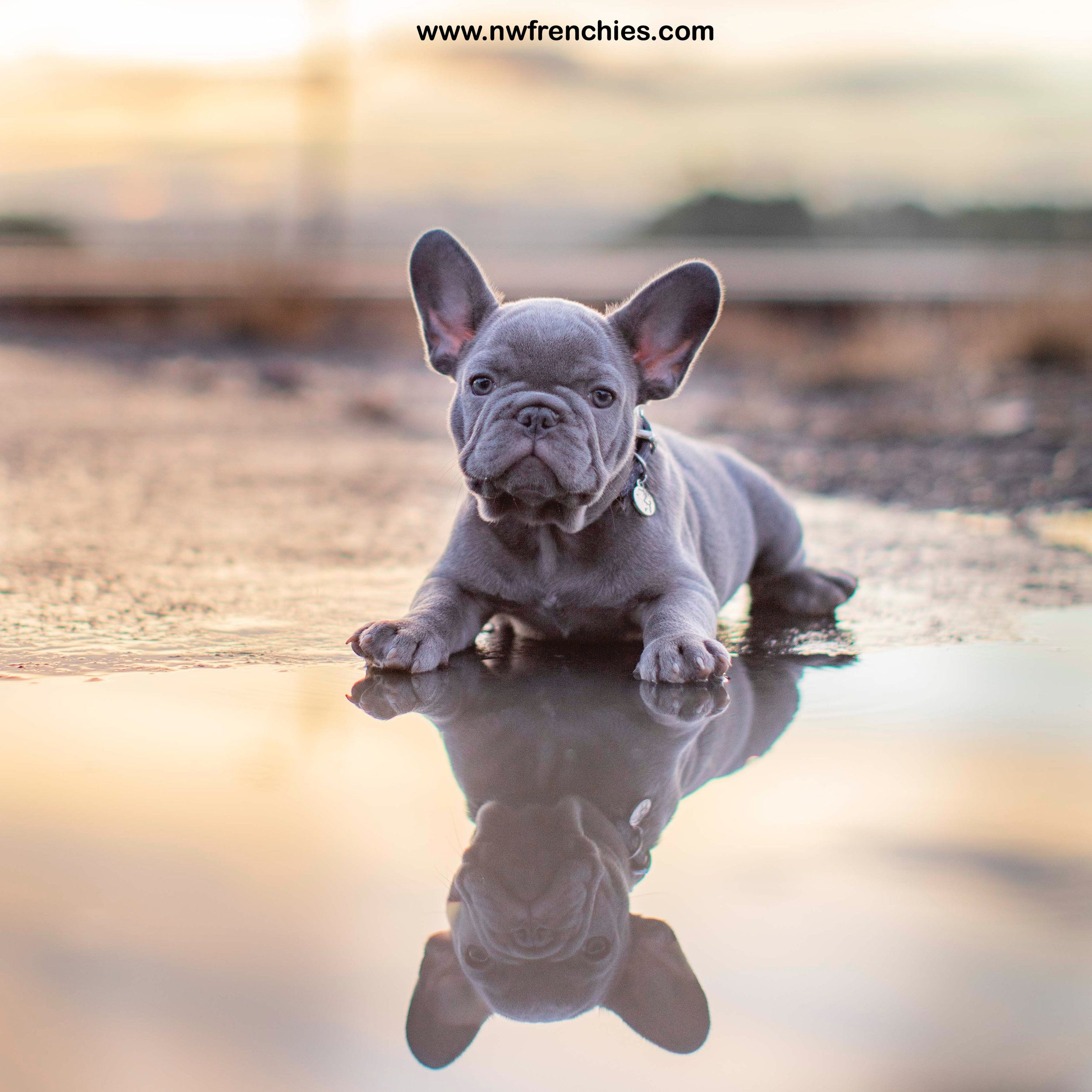 Reserved Lilac Male French Bulldog Puppy For Sale Bulldog