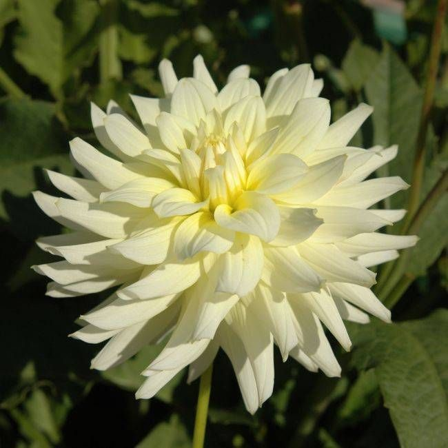 "Dahlia Moonstruck 3"" bloom"