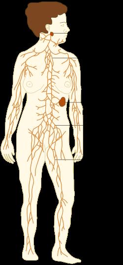 TE-Lymphatic system diagram.es.svg | Cosas que ponerse | Pinterest ...