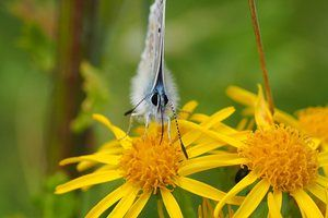 A common blue butterfly photographed in Wicklow, Ireland.