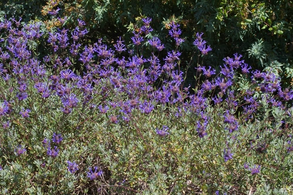 Salvia clevelandii 39 winifred gilman 39 cleveland sage with for Purple flower shrub california