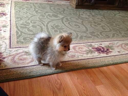 Gorgeous Tea Cup Pomeranian Pomeranian Puppy Teacup Pomeranian Puppy Cute Animals