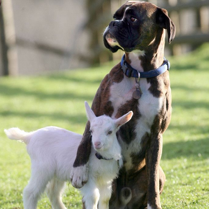 The boxer and his #kid #animals #love