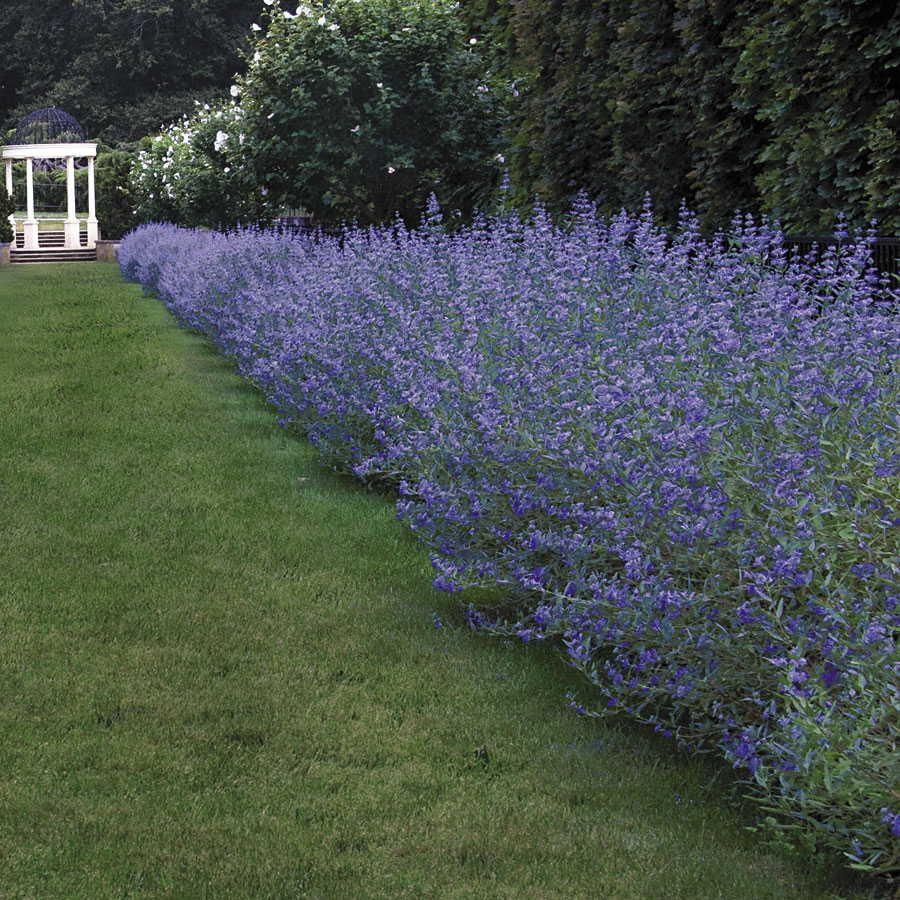 Longwood blue blue mist shrub gardens garden borders for Blue flowering bush