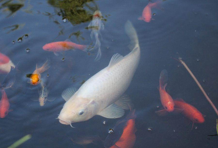 White Koi Carp Koi Fish Koi Koi Carp