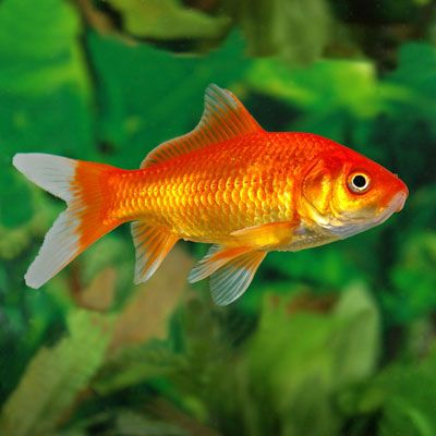 Goldfish for sale pond supplies pond fish pond for Hardiest pond fish