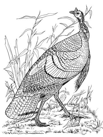 Wild Turkey Hen Coloring page u2026 Pinteresu2026 - best of realistic thanksgiving coloring pages