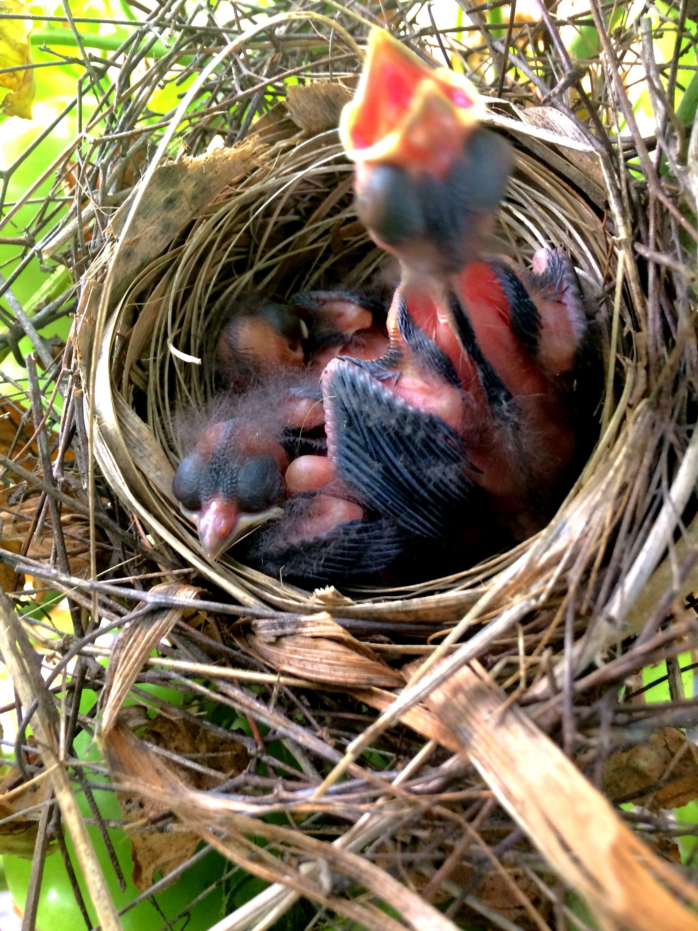 Pin By Fallinsky On Flowers My Stuff Baby Cardinals Habitats