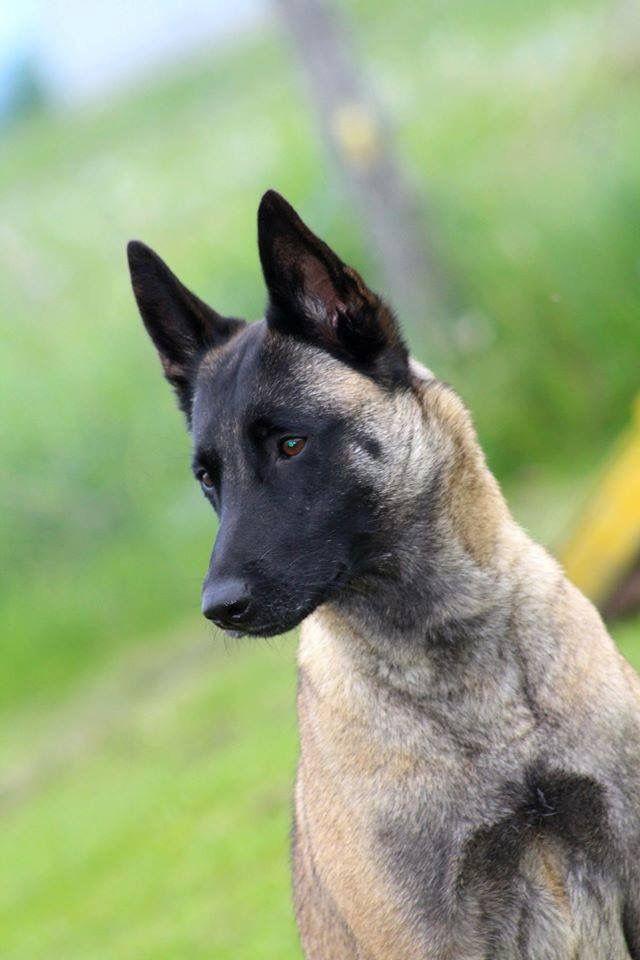 Belgian Malinois Kutya