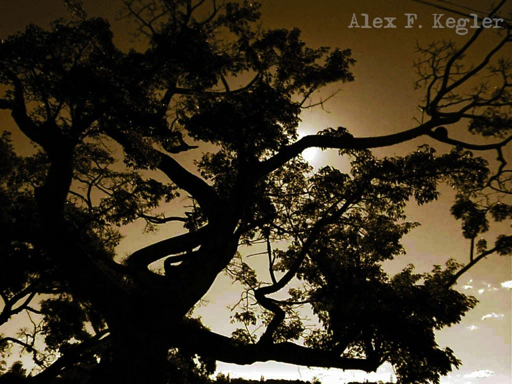 Alex photograph project: Large tree...