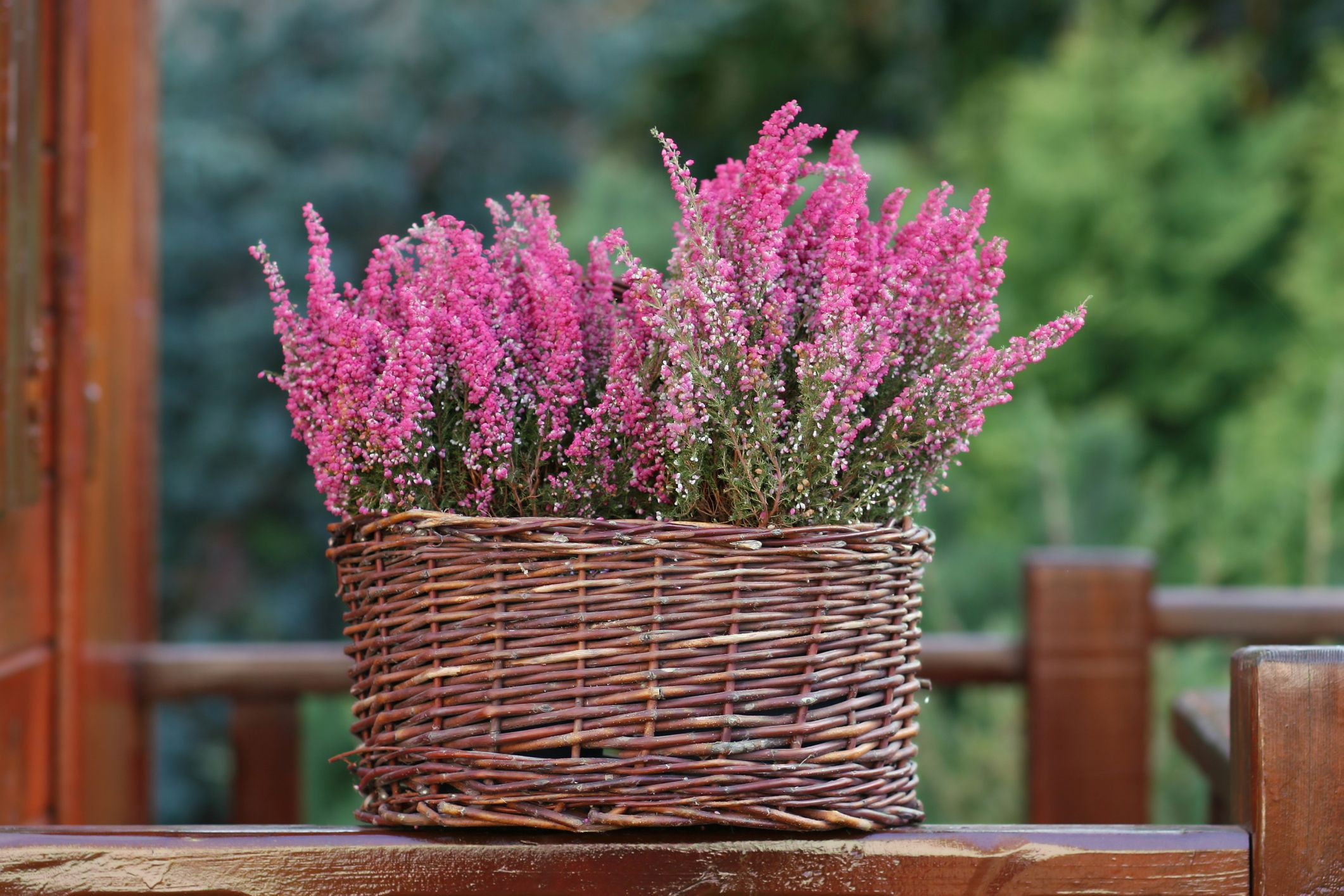 What Is The Meaning Of The Heather Flower Heather Flower Heather Plant Pretty Plants