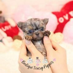 Teacup Chihuahua Pup #cuteteacuppuppies