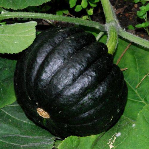 Squash HEIRLOOM from JAPAN! 10+ seeds Kogigu Pumpkin