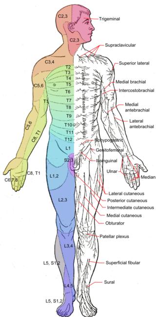 Dermatomes and cutaneous nerves - anterior - Dermatome (anatomy ...