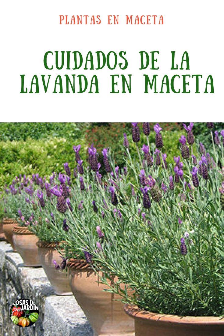 C mo cultivar lavanda en maceta consejos y cuidados for Lavanda cultivo o cuidados