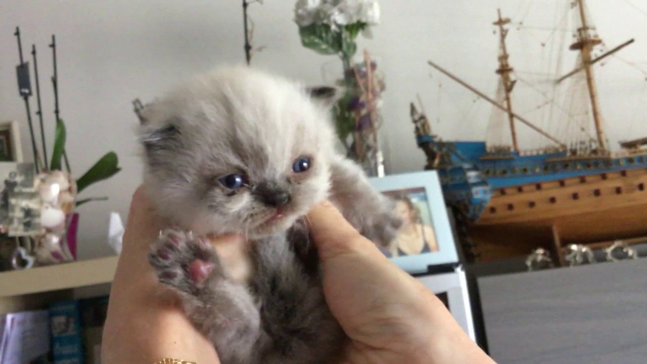 Cute Little Baby Persian Kitten Crying For Attention In 2020 Baby Animals Funny Cute Little Kittens Cute Baby Animals