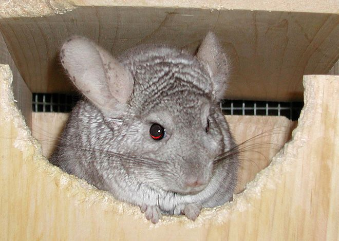 Chinchilla Cage Prices and Tips on How to Choose a Rodent Lodge?