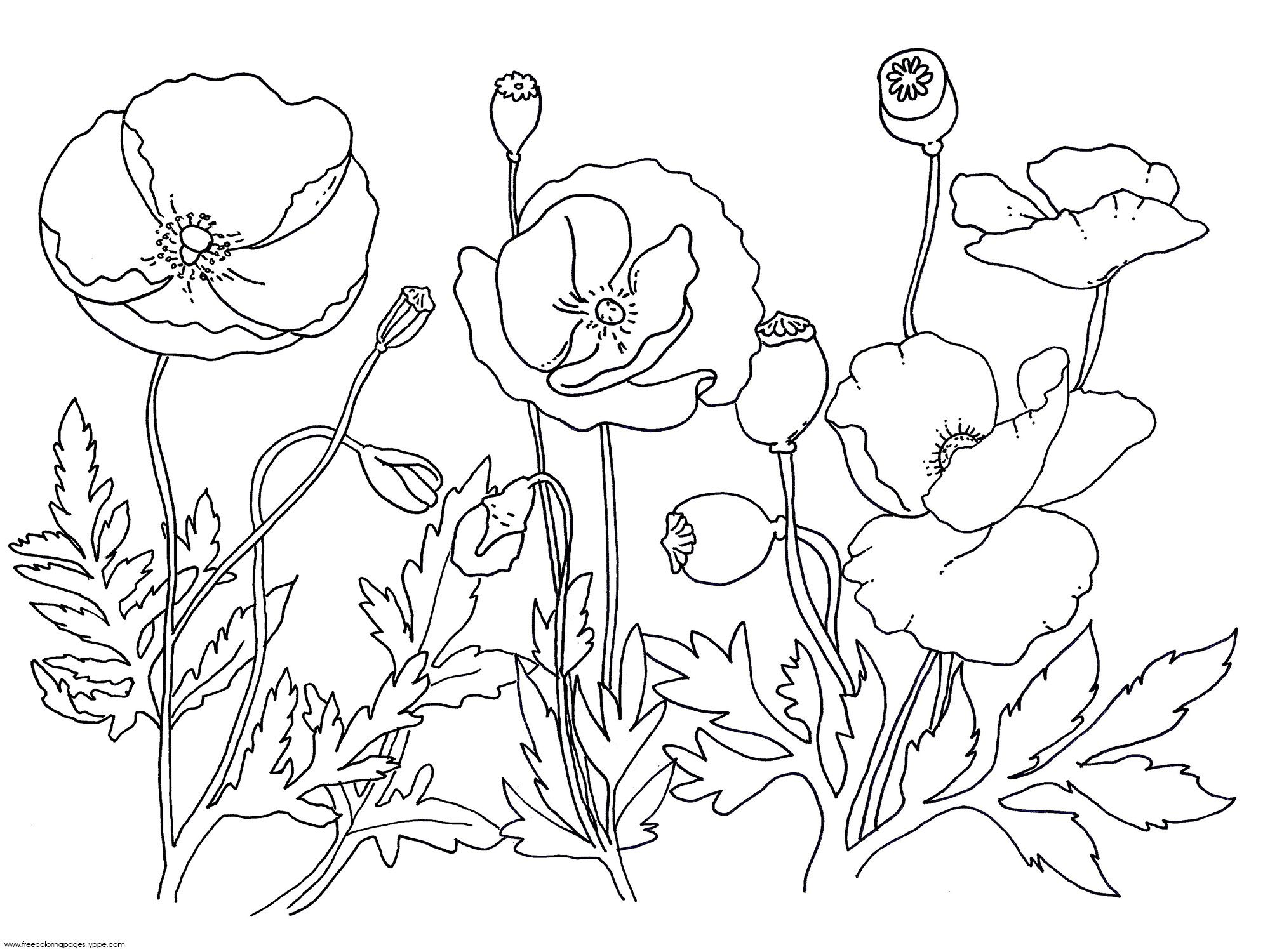 Remembrance Day Poppies, Blooming Flowers Free Coloring