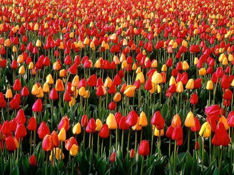 Tulip Fest. :)