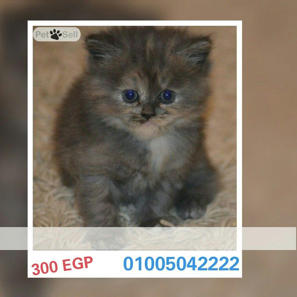 مصر القاهرة Sherazi Moonface Male Female Pet4sell Cats Animals Male