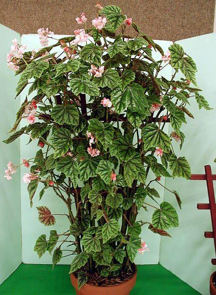 plante interieur begonia