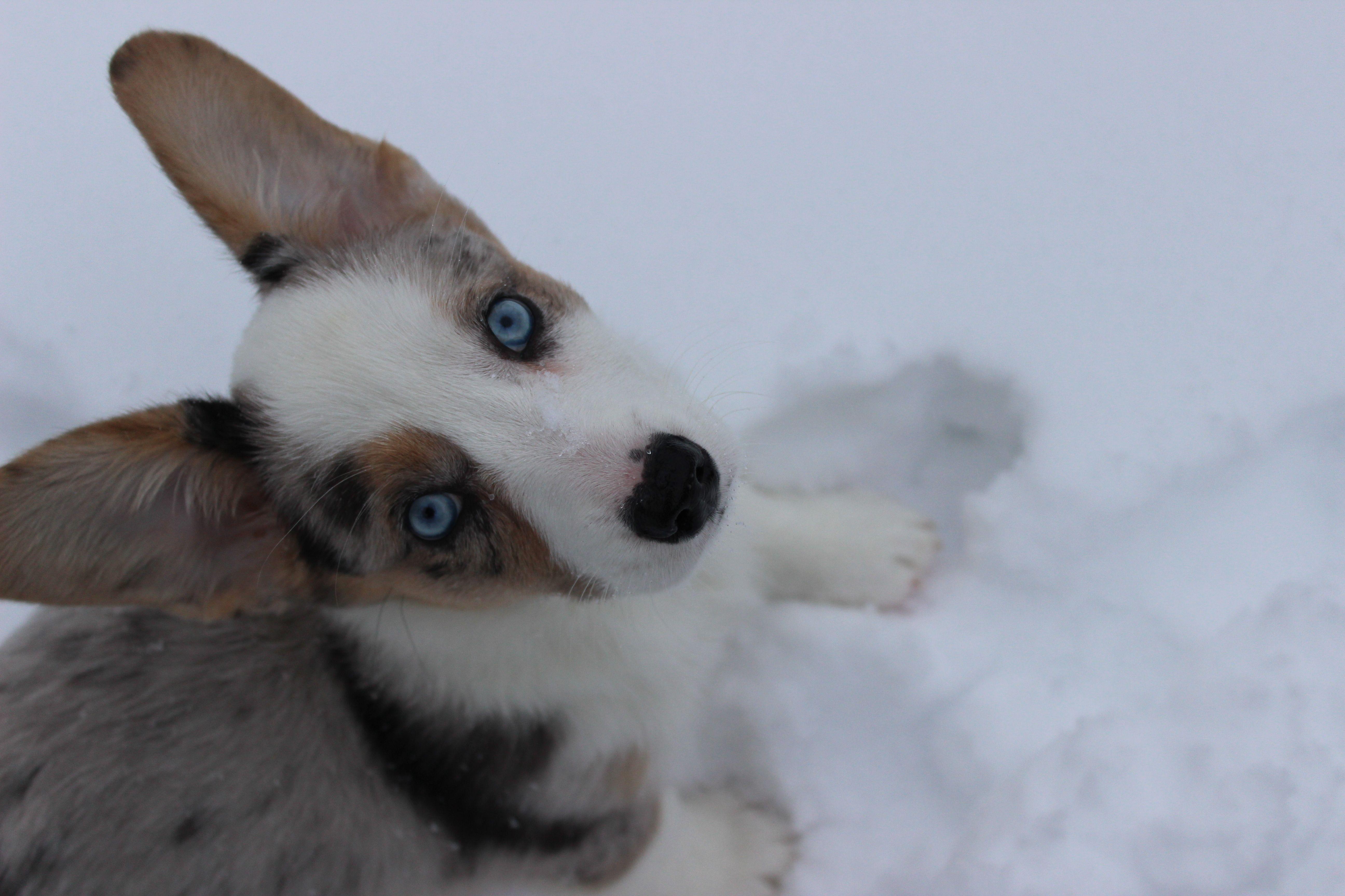 Sydney Blue Merle Cardigan Corgi Corgi Cardigan Corgi Swedish Vallhund