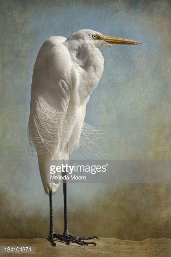 Photo : Regal Great White Egret Standing Portrait