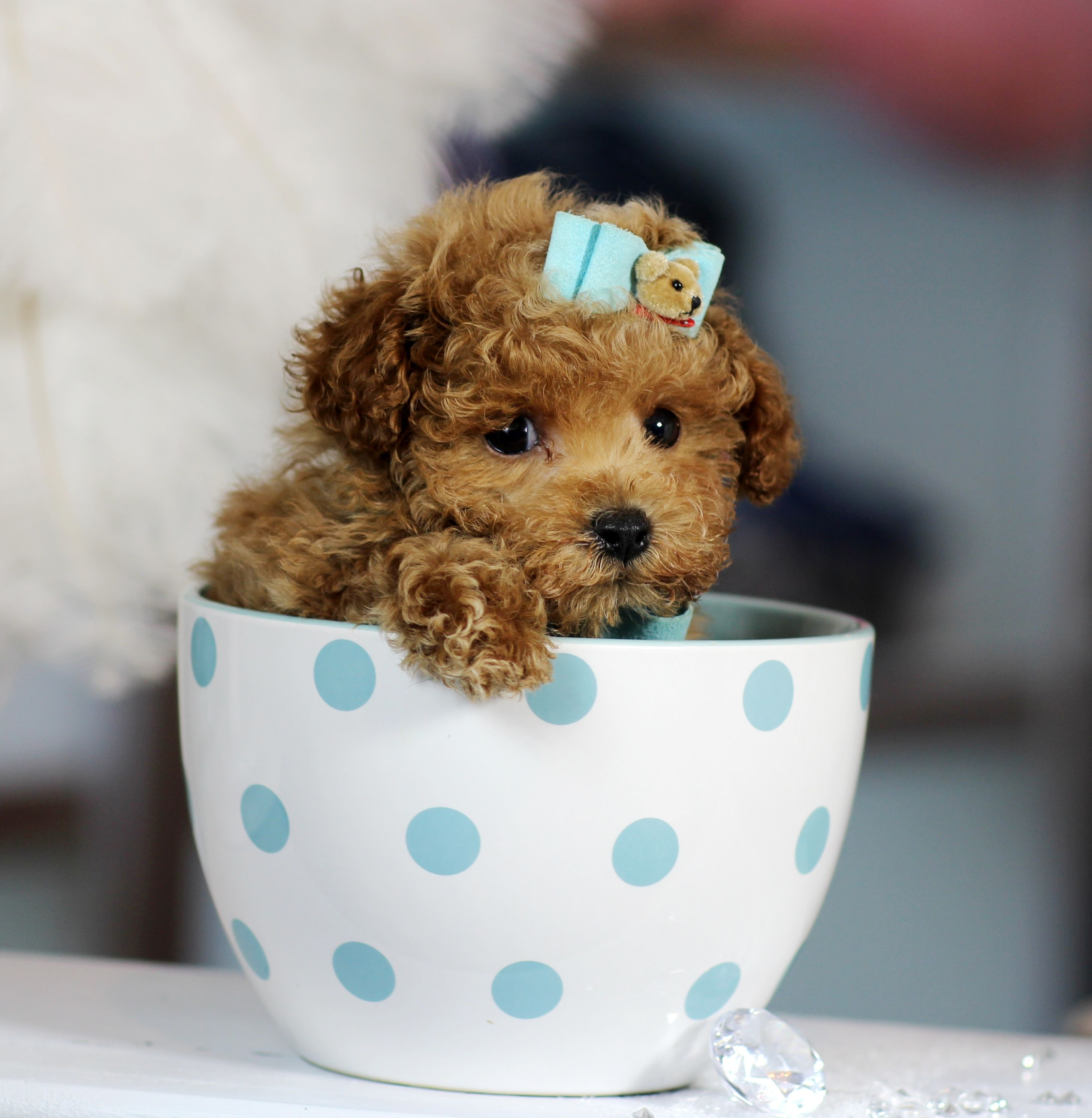 Teacup Poodle! ♥♥♥ Bring This Perfect Baby Home Today ...  Teacup Poodle! ...