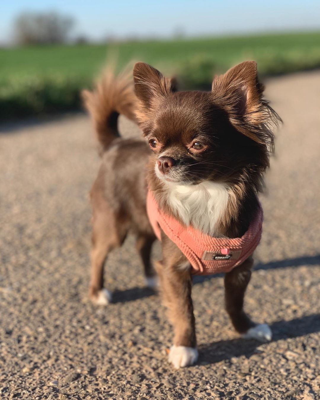 30 Best Dog Names For Mighty Little Chihuahuas Pictures Dog