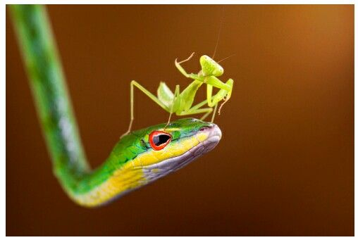 """""""Mantis On Snake"""" (Indonesia, Riau Islands, Batam City) - Photography By: Shikheigoh - [http://www.gettyimages.com]"""