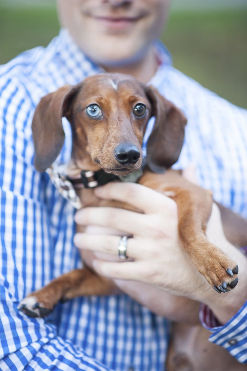 Happy Tails Belle The Chiweenie Bentley The Dachshund Clever