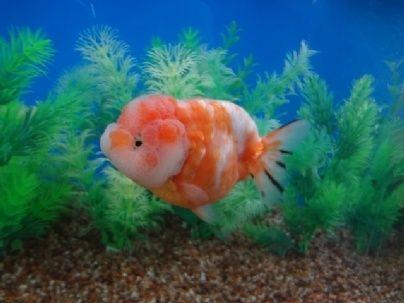 Goldfish Big Cheeks Google Search Goldfish Big Cheeks Fish Pet