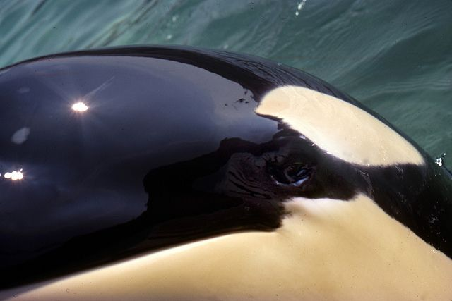 Image Gallery killer whale eyes