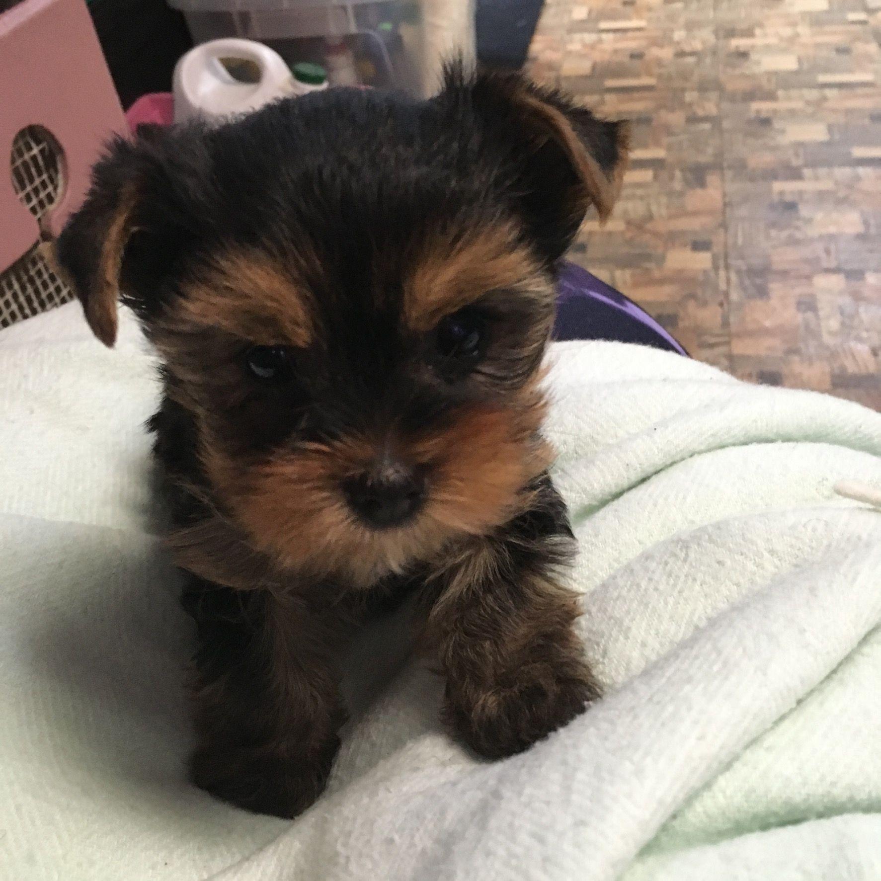 Pin By Ximena Diez On Yorkie Sisters Sophia Grace Ivee Pearl Cute Animals Yorkie Puppies
