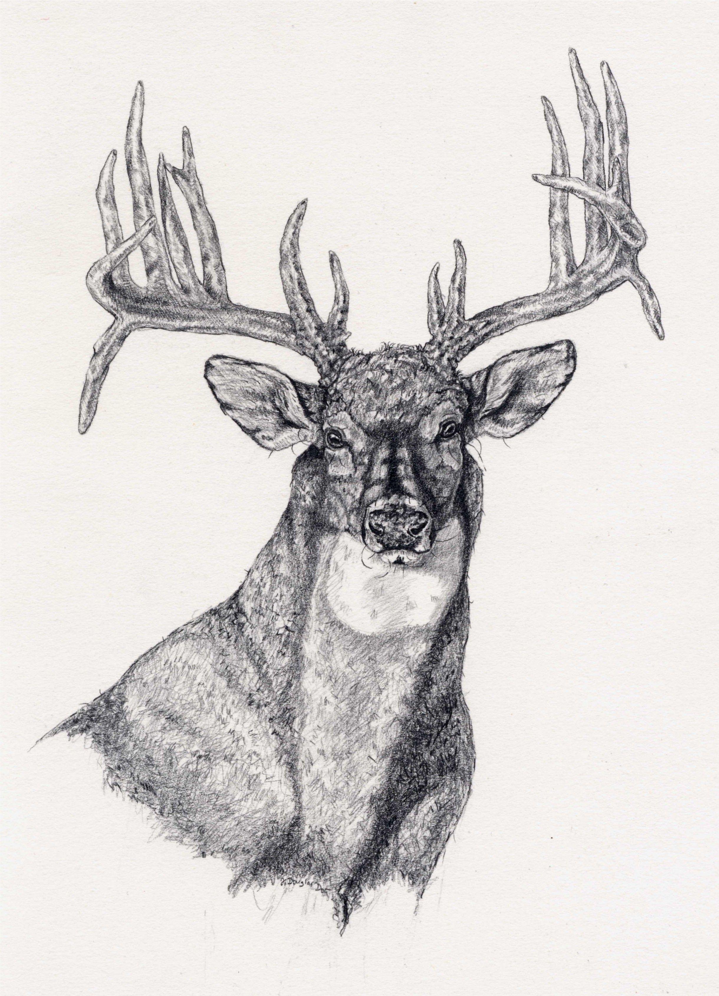 White Tail Deer Sckull Drawn: Deer Drawing, Deer Sketch