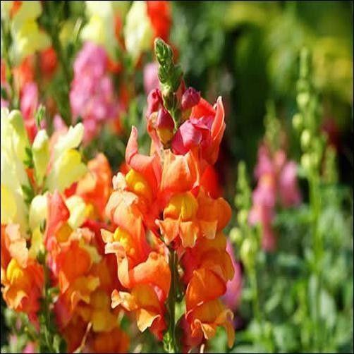 200+ Snapdragon Orange Wonder Flower Seeds , Under The Sun Seeds #Snapdragon