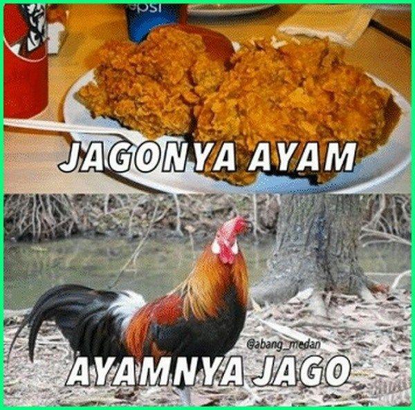 72 Gambar Binatang Lucu Ayam Adu Terbaru