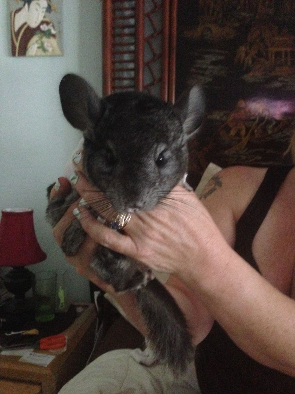 Chinchilla are great pets but need exercise and a good