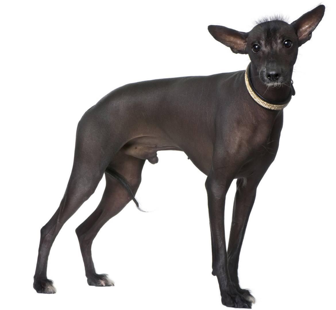 Peruvian Inca Orchid Information - Dog Breeds at thepetowners