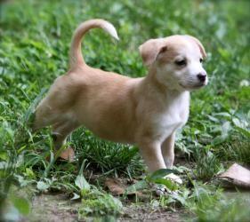 Adopt Goldie On With Images Malinois Dog Belgian Shepherd Malinois