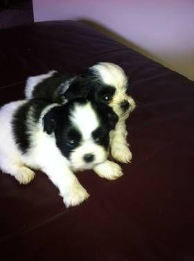 Adorable Ckc Shih Tzu Puppies For Sale Cachorros Perros Mejor Amigo Del Hombre