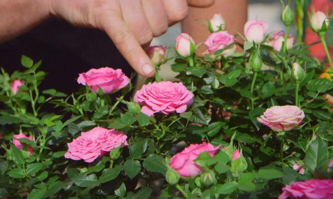cuidados de la rosa de pitiminí o rosal mini | rosal, rosas y plantas