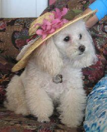Fifi Poodle in Paradise modeling her Southern Belle hat